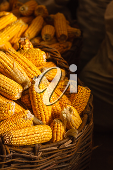 Fresh Yellow Corn in Basket on the dark background. Harvest agricultural concept