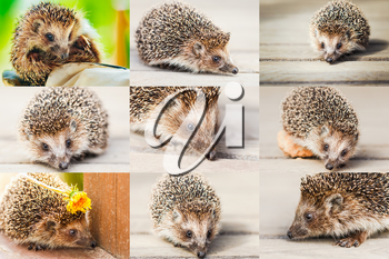 Young Hedgehog On Wooden Floor Set Collage