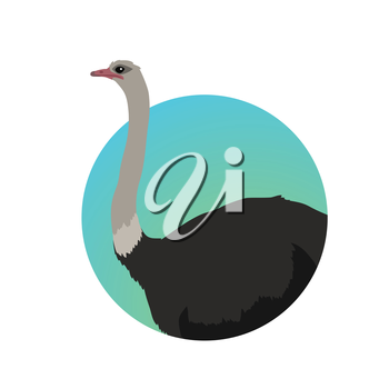 Ostrich vector. Birds of savannah in flat design. African fauna illustration. Wild life in tropics concept for childrens books illustrating. Ostrich farm logo. Big ostrich standing isolated on white.