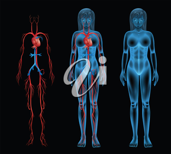 Illustration of the female circulatory system
