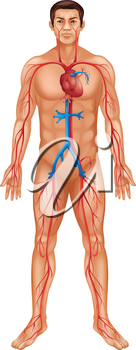 Illustration of human male and circulatory system