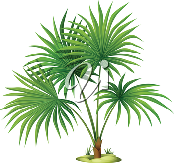 Illustration of the Washingtonia robusta on a white background