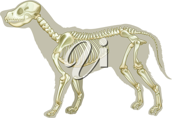 Illustration of a skeleton of a Canis lupus familiaris on a white background