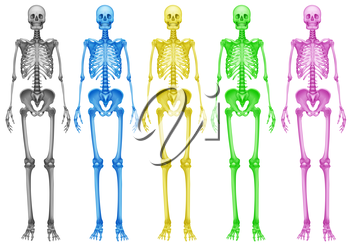 Coloured human skeletons on a white background