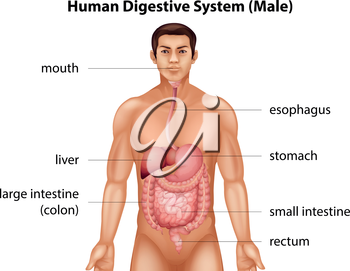 The digestive system of human