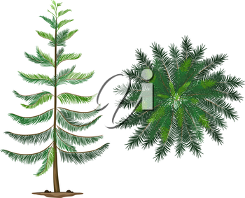 Illustration of a Norfolk island plant on a white background