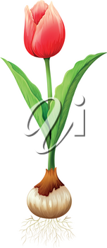 Red tulip with roots illustration
