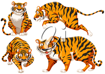 Four different positions of single tiger