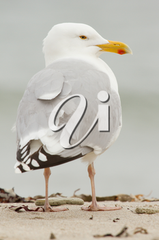 A close-up of a Herring Gull in Helgoland