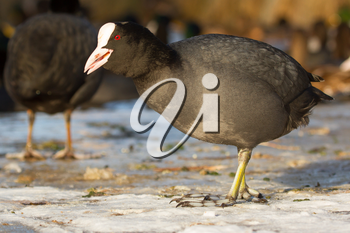 A common coot on the ice is eating