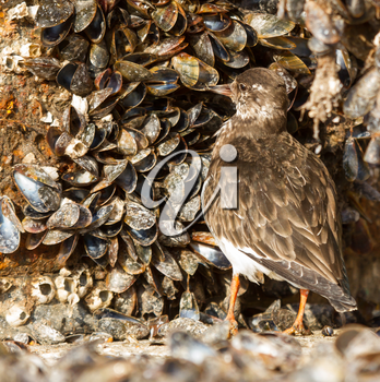 Close-up of a Ruddy Turnstone