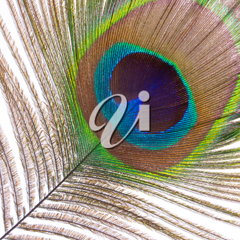 The colorful feathers of a male peacock