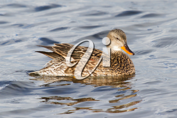 A Gadwall (female) in calm water (Holland)