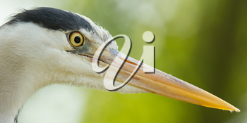Close-up of a great blue heron (Holland)