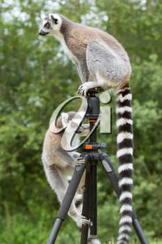 Ring-tailed lemurs in captivity, sitting on a photographers tripod
