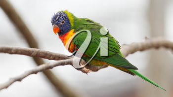 Australian rainbow lorikeet sitting on a tree