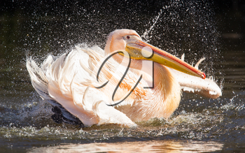 Pelican taking a refreshing, washing in a pond