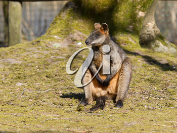 Swamp wallaby is relaxing in the sun