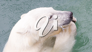 Close-up of a polarbear (icebear) in captivity eating a fish