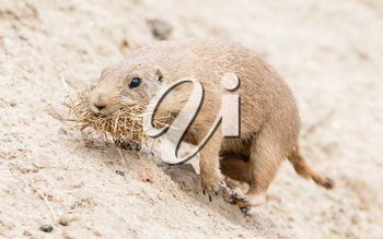 Black-Tailed prairie dog in it's natural habitat, gathering nesting material