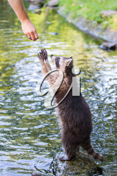 Adult racoon begging for food, water background