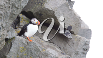 Colorful Puffin isolated in natural environment in Iceland
