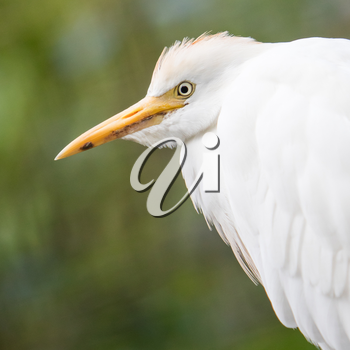 Cattle Egret, Bubulcus ibis, with breeding colors on nest with green background