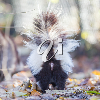 Skunk (Mephitis mephitis) in winter, selective focus
