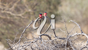 Carmine Bee eaters perched on a branch, Namibia