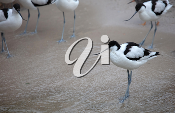 Wader: black and white Pied avocet on the beach, selective focus