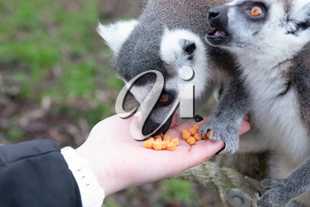 Ring-tailed Lemur eating out of a persons hand