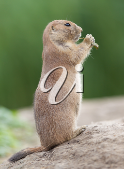 Black-tailed prairie dog  (Cynomys ludovicianus) in it's natural habitat