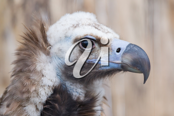Face portrait of a Cinereous Vulture (Aegypius monachus), also known as the Black Vulture, Monk Vulture, or Eurasian Black Vulture