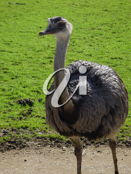 Stock Image of an Ostrich