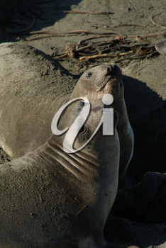 Stock Photography of Two Elephant Seals