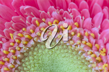 Stock Photo of a Close Up of a Pink Gerbera Flower Center