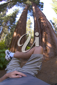 Stock Photo Man Relaxing Under the Giant Sequoia Trees
