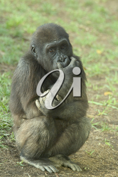 Stock Photo of a Young Gorilla