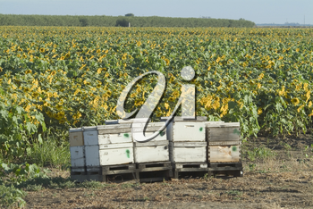 Stock Photo of a Sunflower Crop With Honey Bees