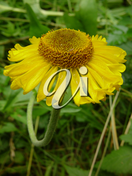 Yellow Flower Photographs, Pictures and Photos