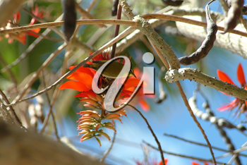 Stock Image: Hawaiian Coral Tree and Japanese White Eye Bird