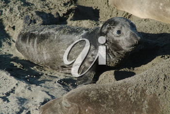 Stock Image of a Baby Elephant Seal Pup