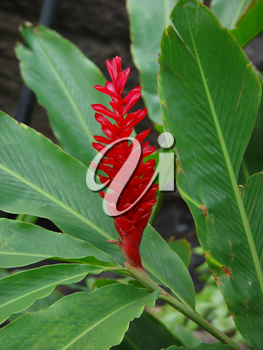 Stock Photography: Red Ginger Flower