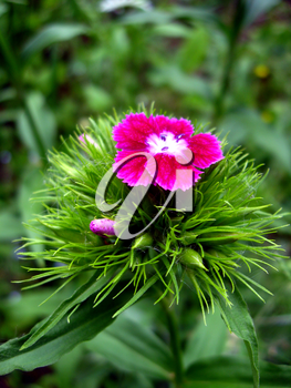 The image of flower red dianthus barbatus