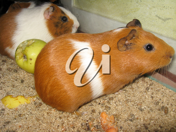 two little beautiful brown guinea-pigs with apple