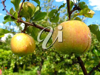 very tasty and ripe apples hanging on the tree
