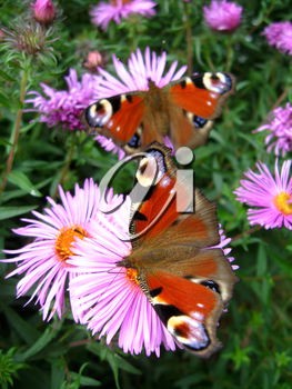 The graceful butterflies of peacock eye sitting on the aster