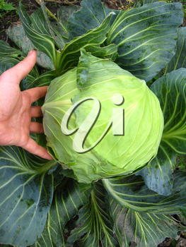 The image of the hand and big head of ripe and green cabbage