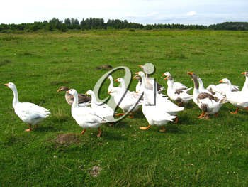 Flight of white house geese on a meadow