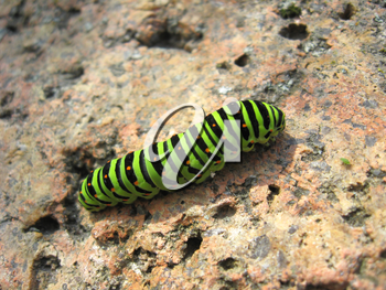 image of caterpillar of the butterfly  machaon on the stone